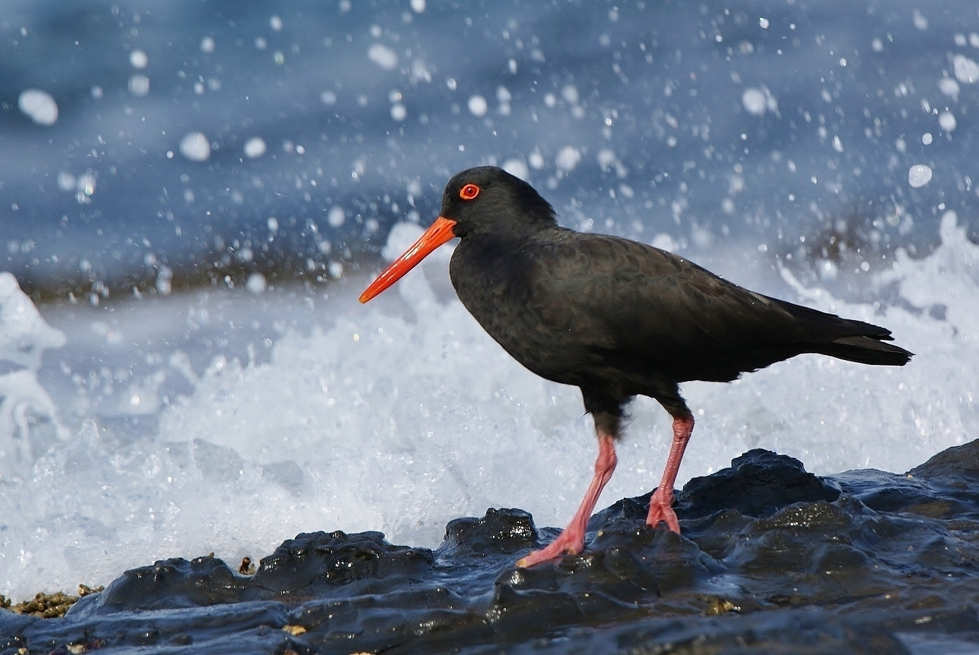 Sooty Oystercatcher (Image ID 38071)