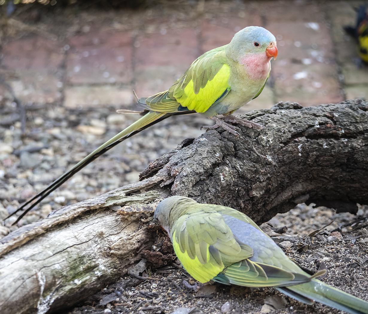 Princess Parrot (Image ID 38041)