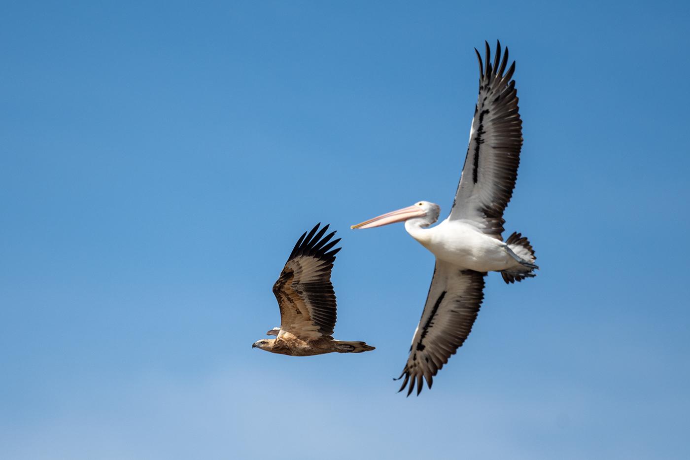 White-bellied Sea-Eagle (Image ID 38111)