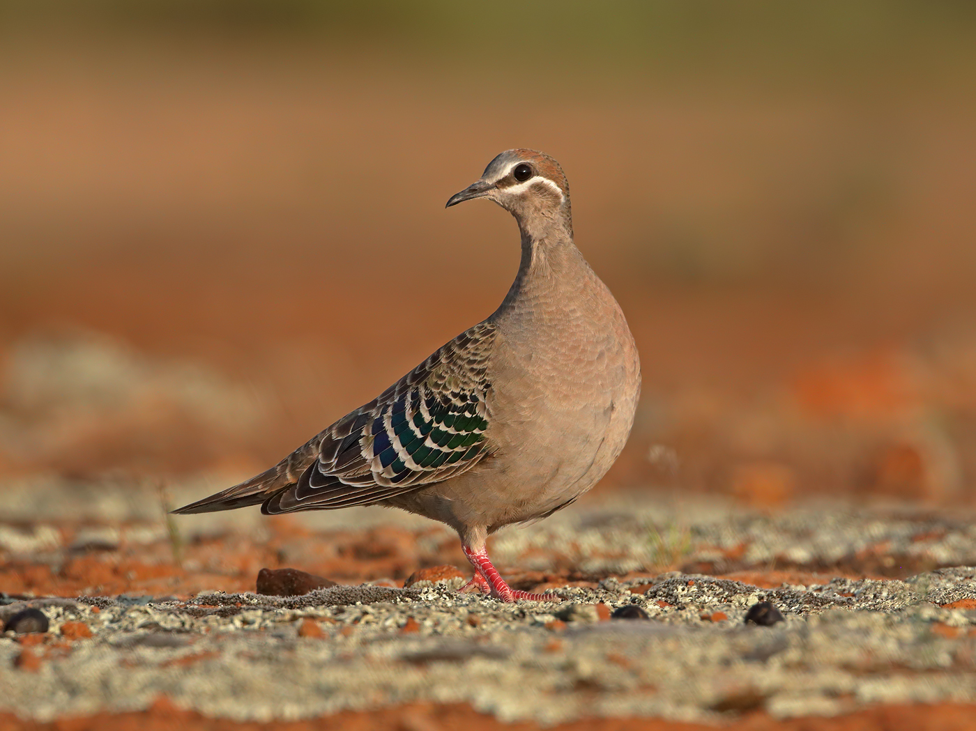 Common Bronzewing (Image ID 38189)