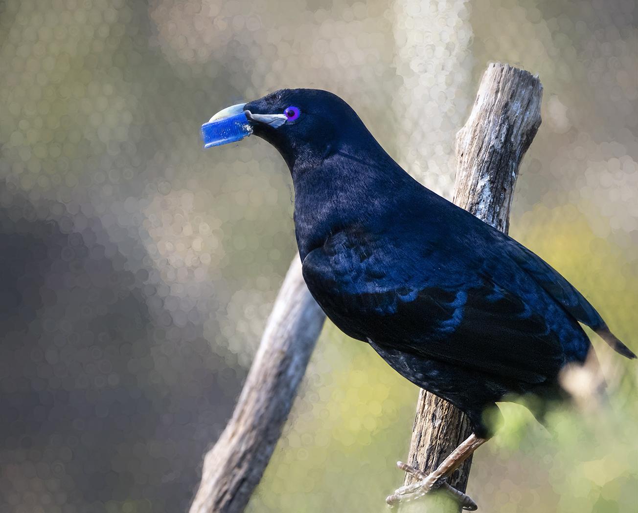 Satin Bowerbird (Image ID 38009)