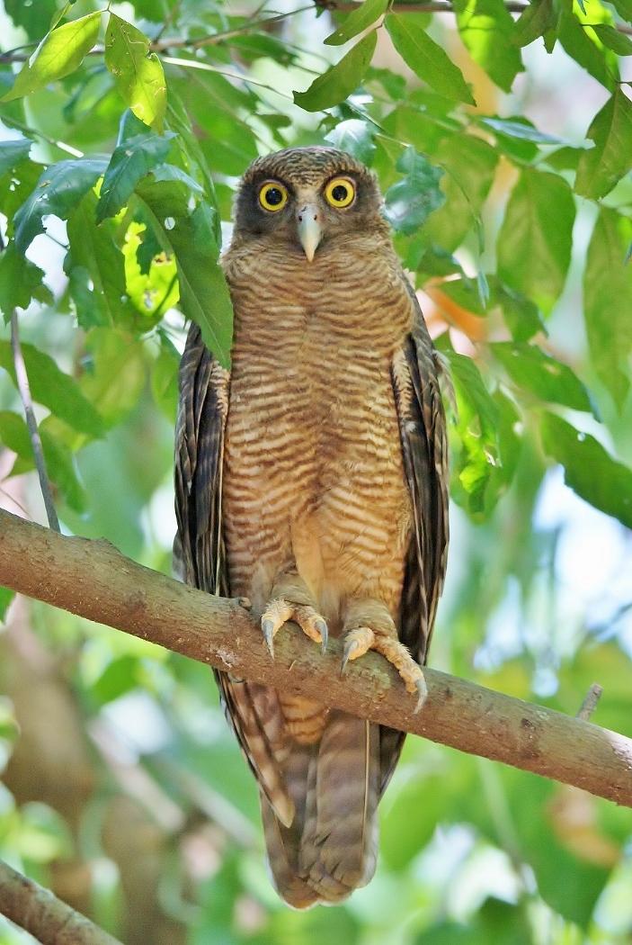 Rufous Owl (Image ID 38002)