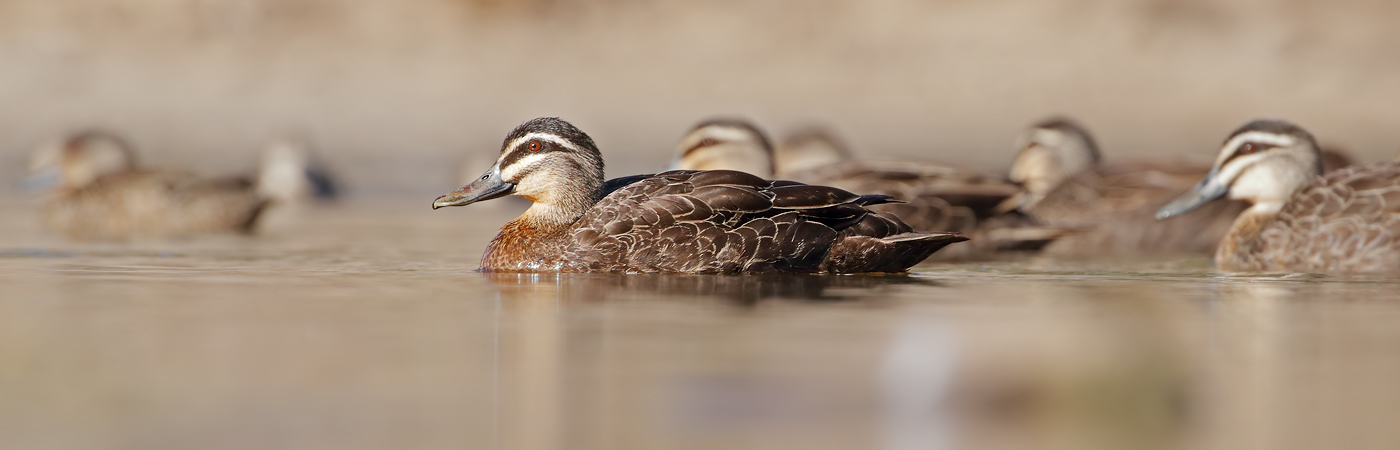 Pacific Black Duck (Image ID 37943)