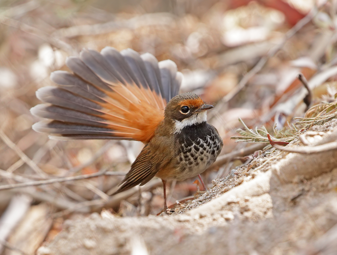 Rufous Fantail* (Image ID 38013)