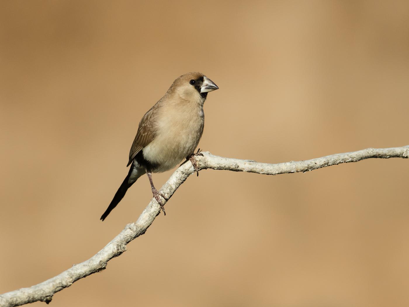 Masked Finch (Image ID 38144)