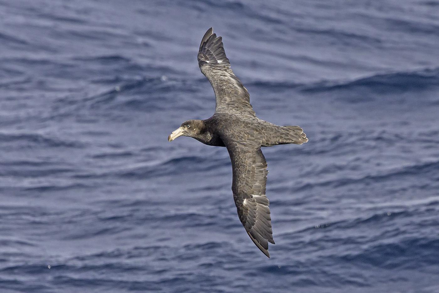 Northern Giant-Petrel (Image ID 37921)