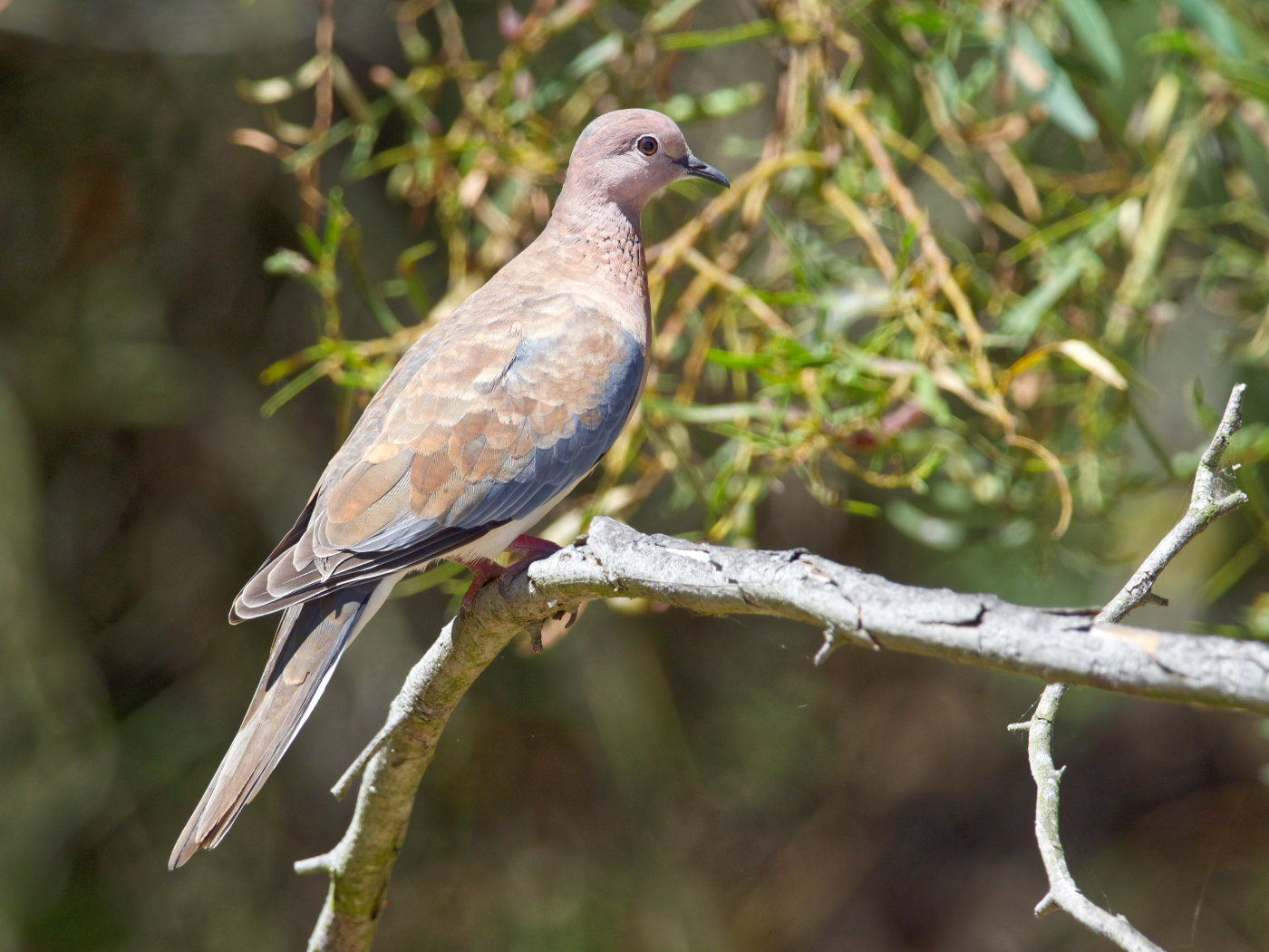 Laughing Dove (Image ID 38247)