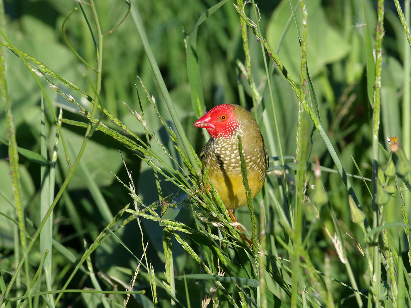 Star Finch (Image ID 38392)