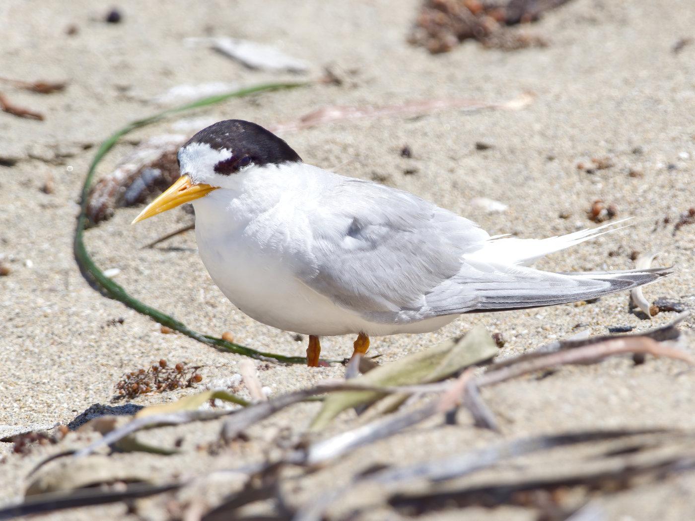 Fairy Tern (Image ID 38182)