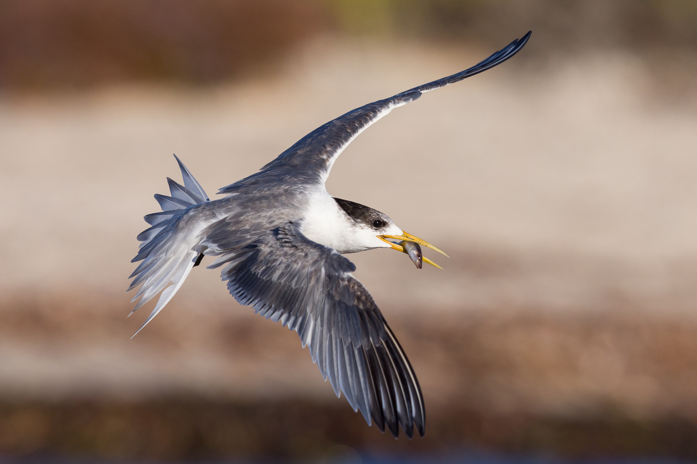 Greater Crested Tern (Image ID 38210)