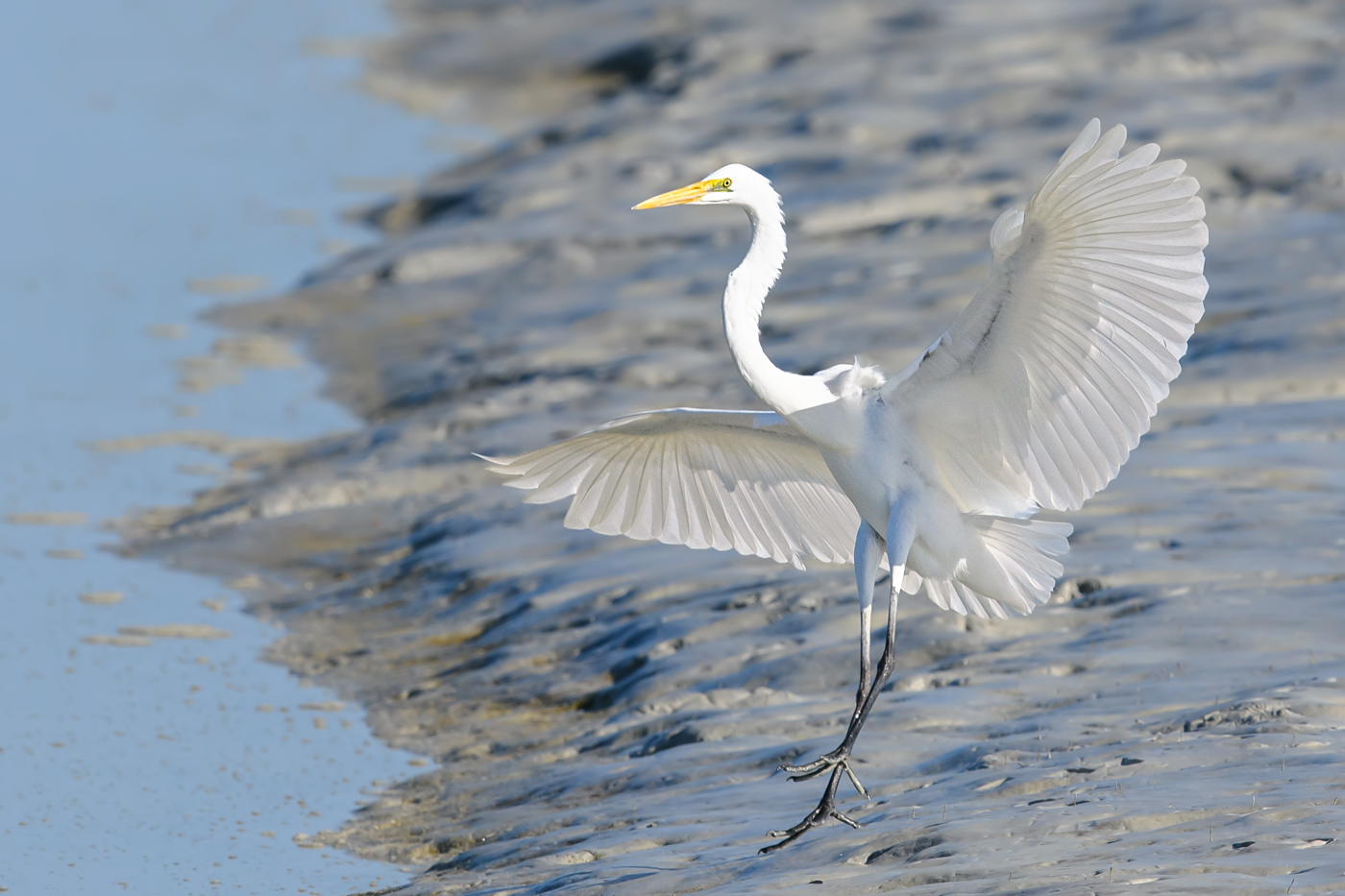 Great Egret (Image ID 38086)