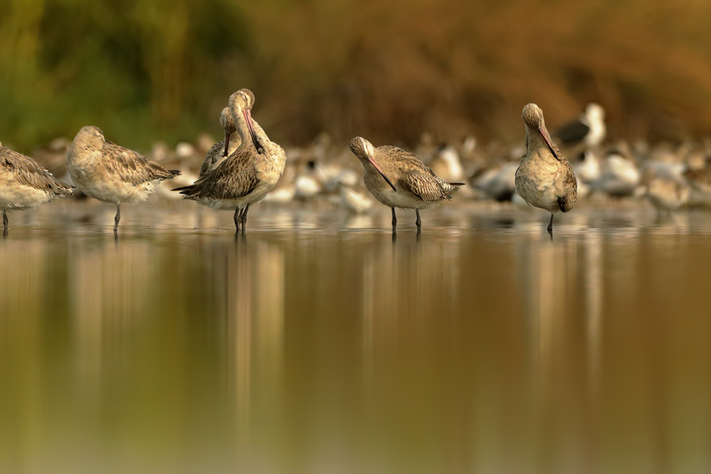 Bar-tailed Godwit (Image ID 38220)