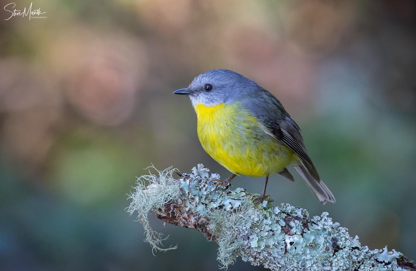 Eastern Yellow Robin (Image ID 38094)
