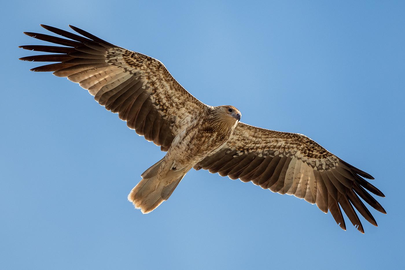 Whistling Kite (Image ID 38109)