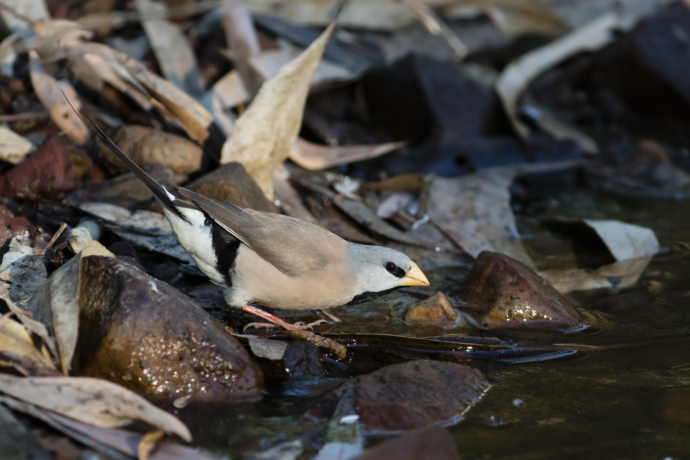 Long-tailed Finch (Image ID 38145)