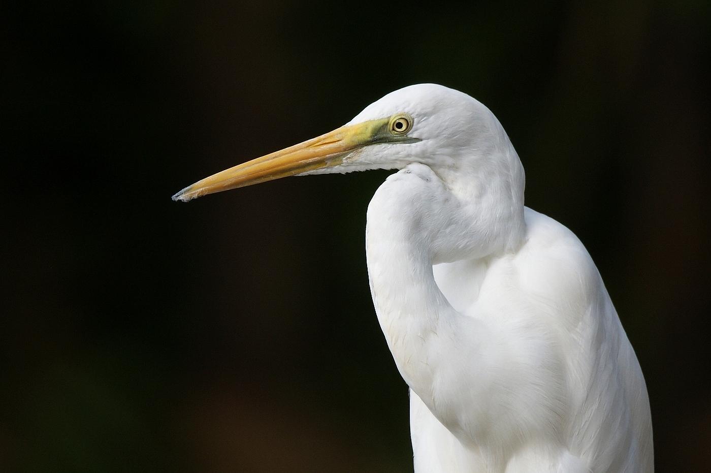 Great Egret (Image ID 38119)