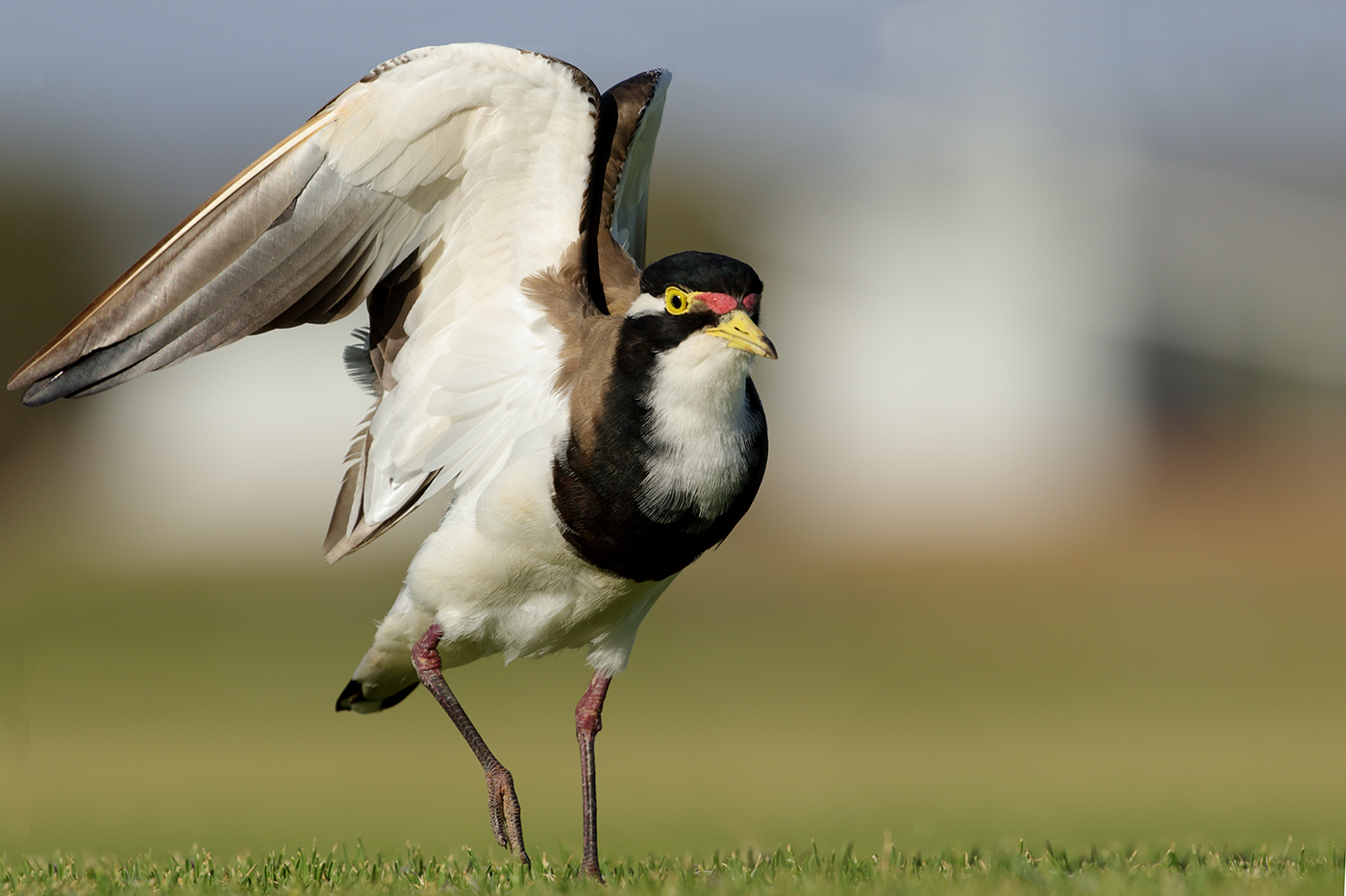 Banded Lapwing (Image ID 38320)