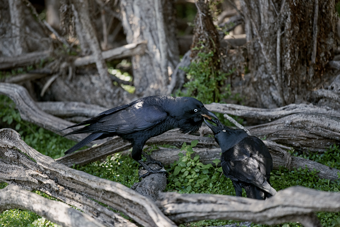 Australian Raven (Image ID 37958)