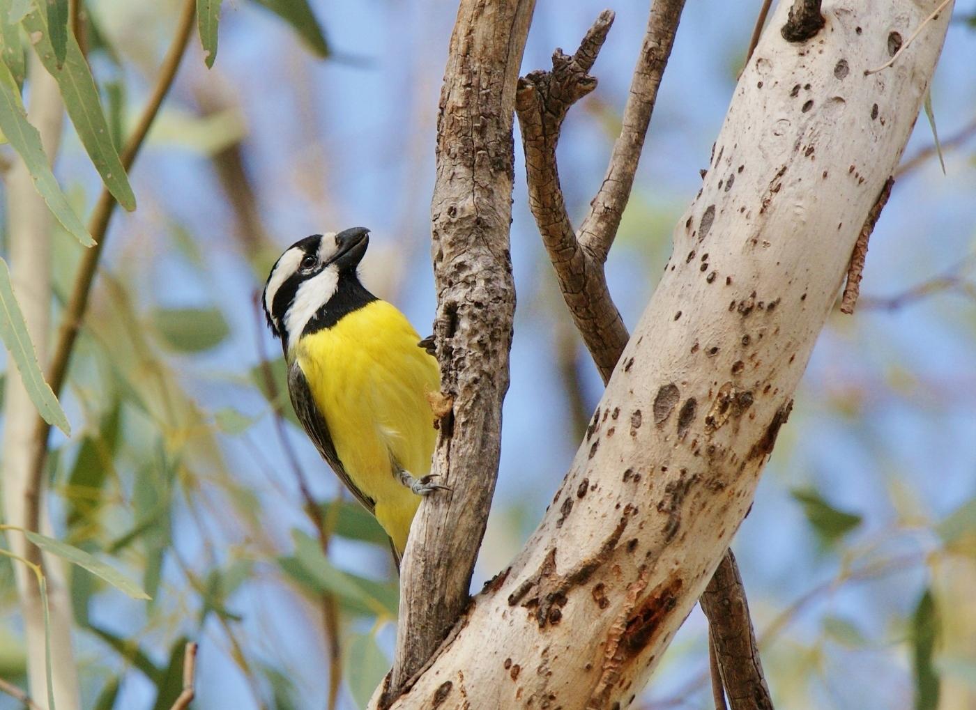 Eastern Shrike-tit (Image ID 38072)