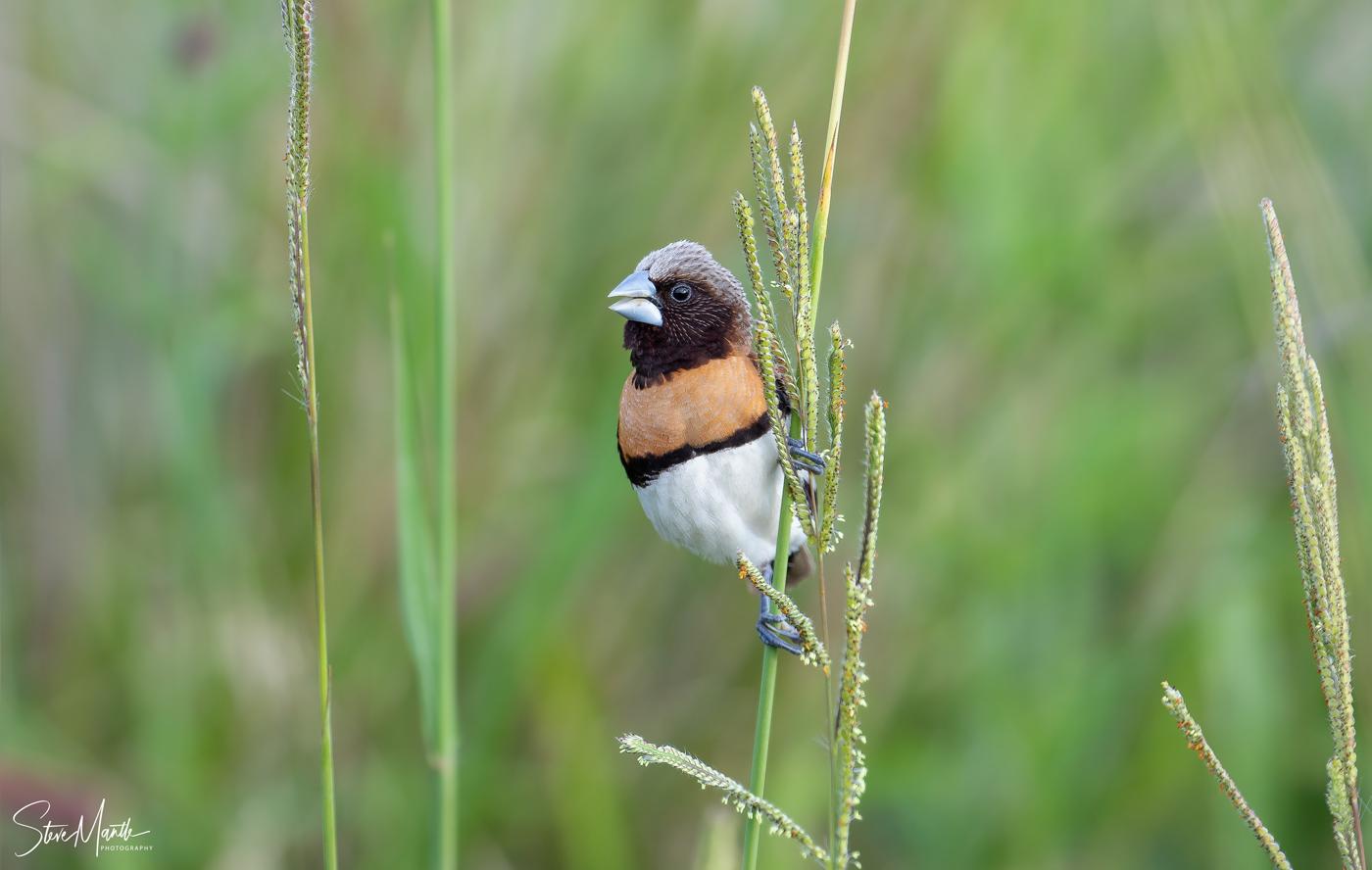 Chestnut-breasted Mannikin (Image ID 38108)
