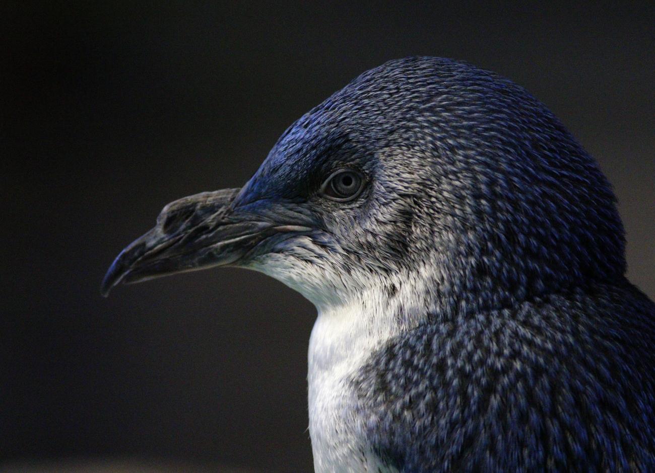 Little Penguin (Image ID 38070)