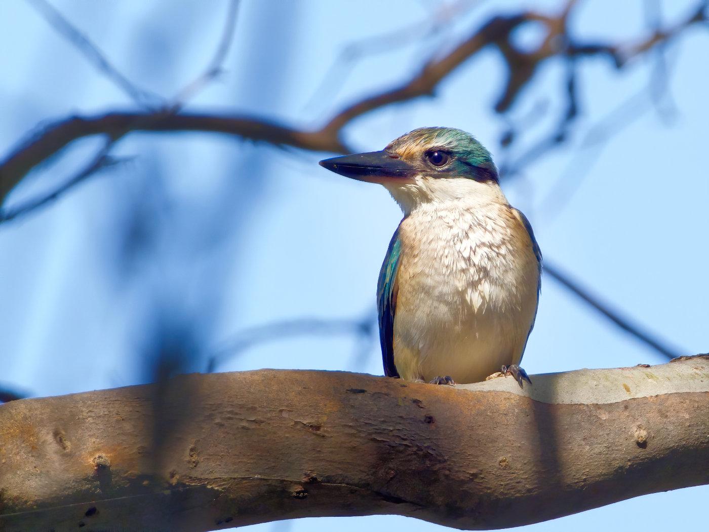 Sacred Kingfisher (Image ID 38403)