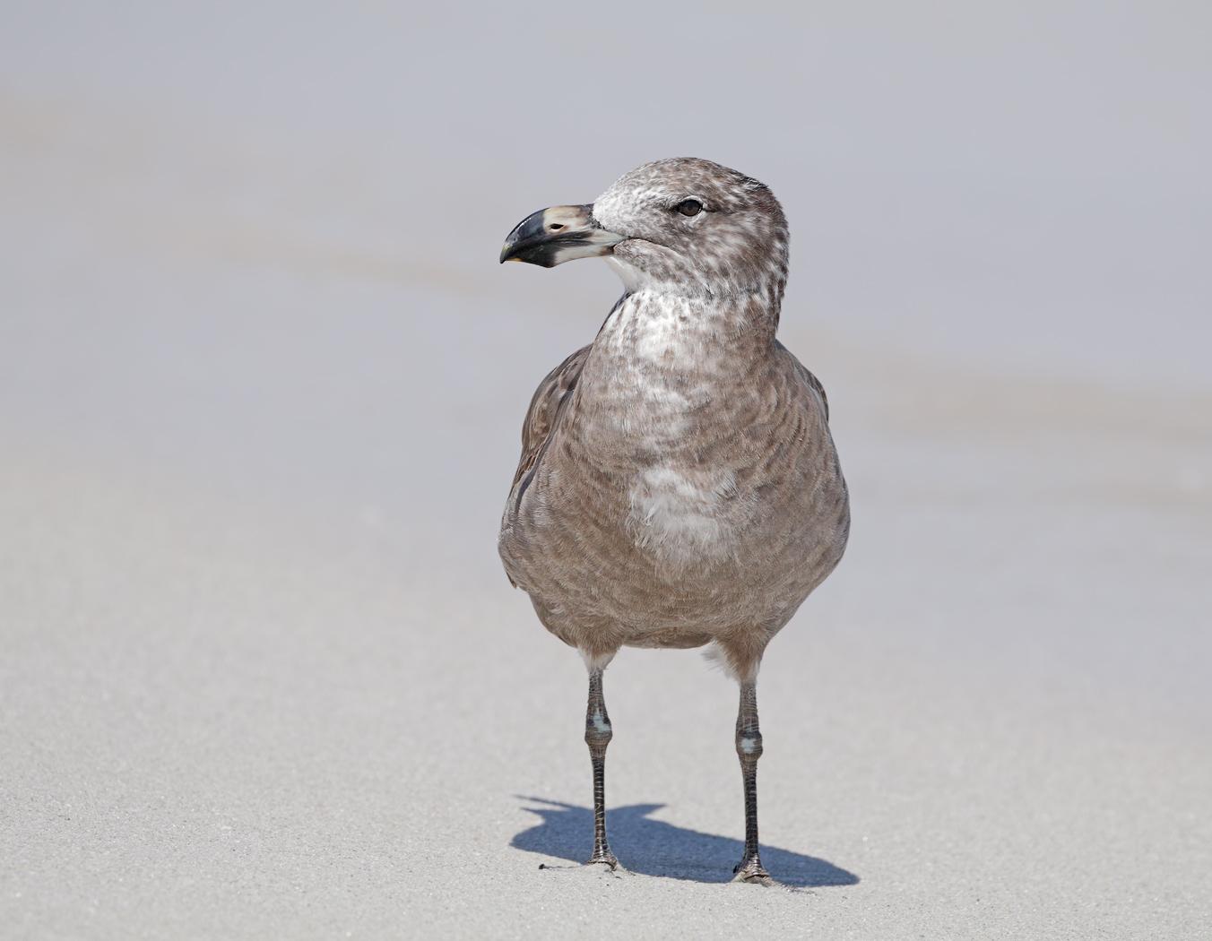 Pacific Gull (Image ID 38038)
