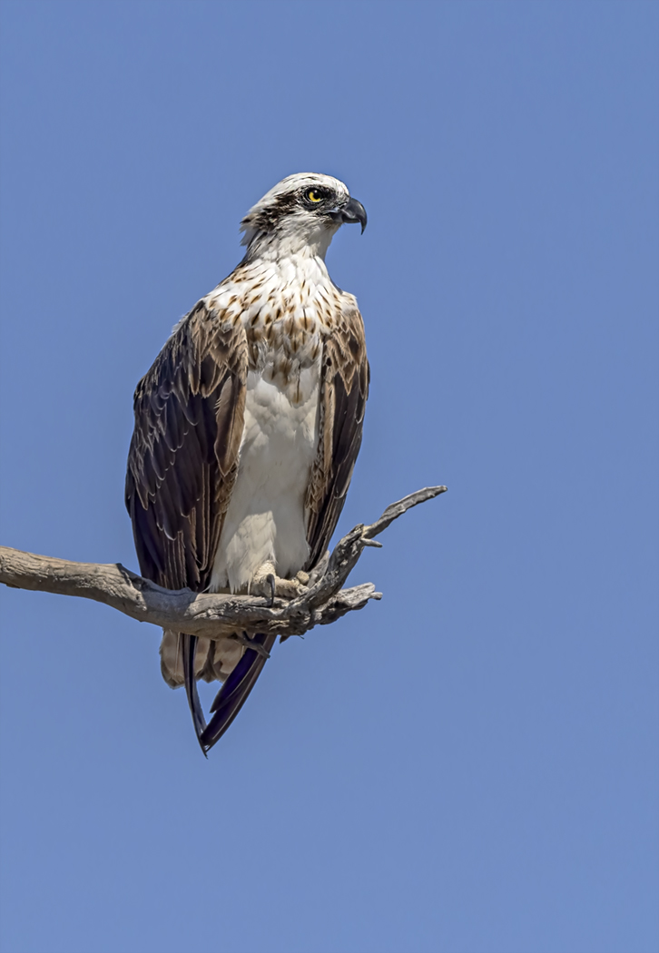 Osprey (Image ID 38406)