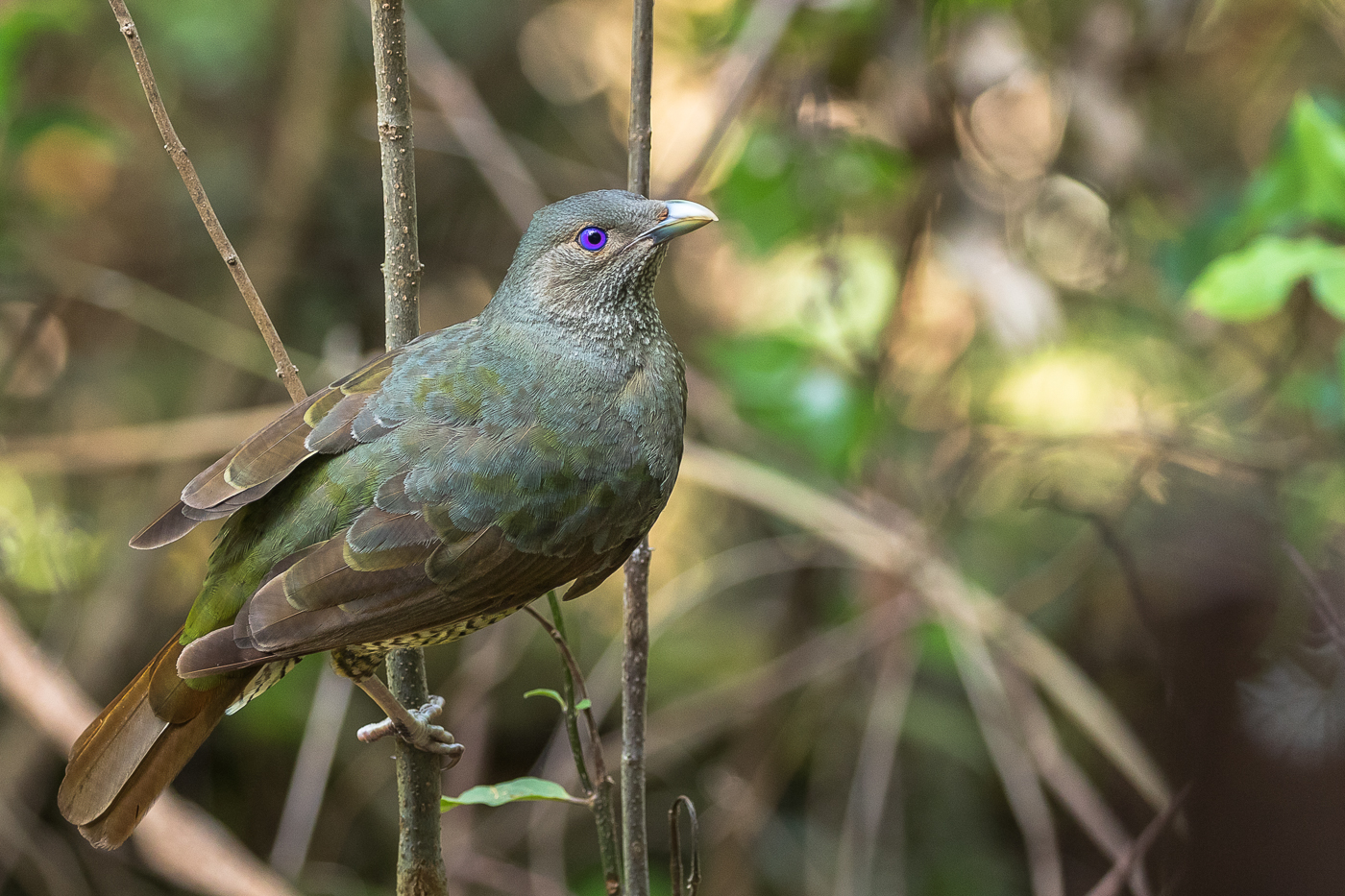 Satin Bowerbird (Image ID 38198)