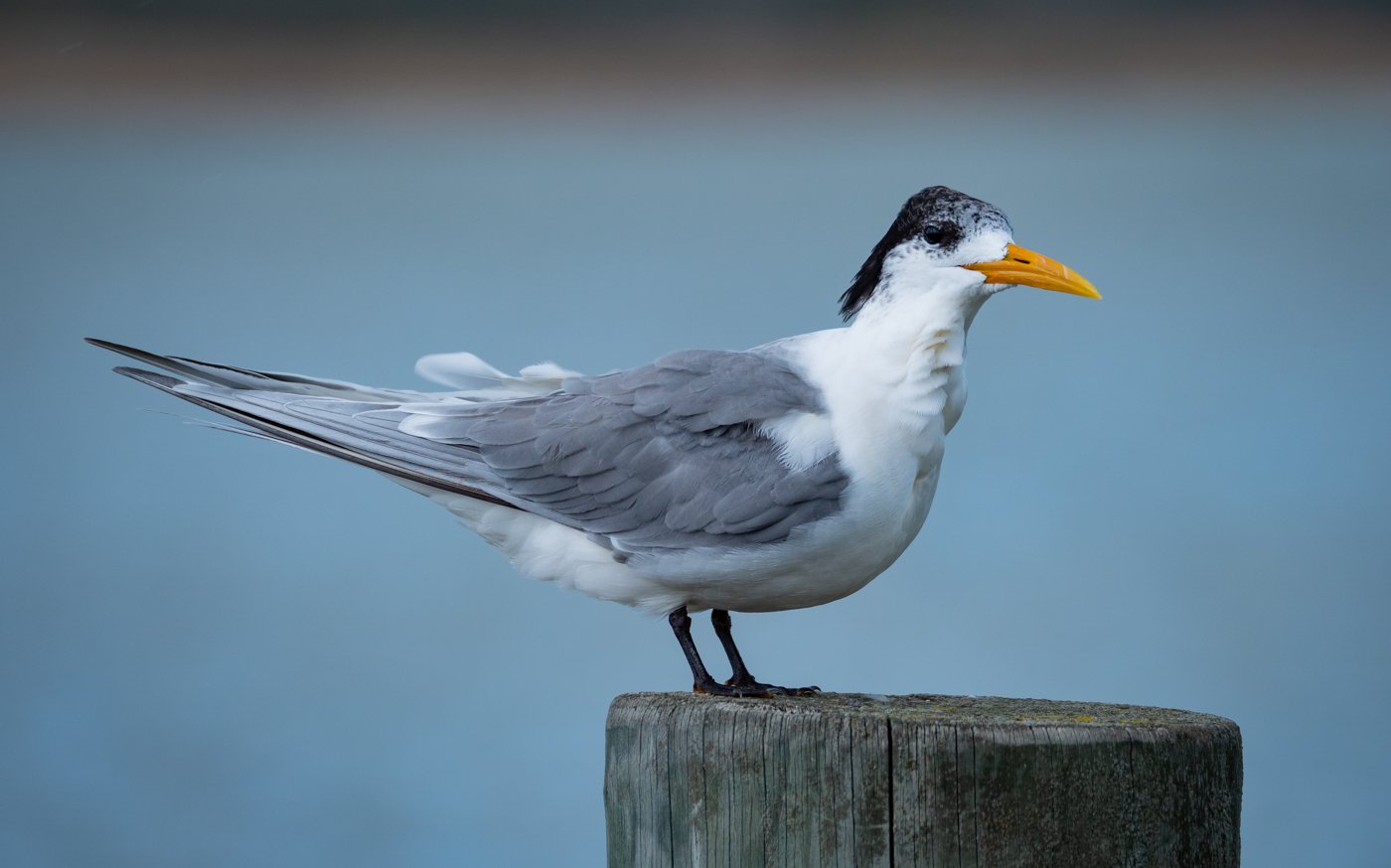 Greater Crested Tern (Image ID 38000)
