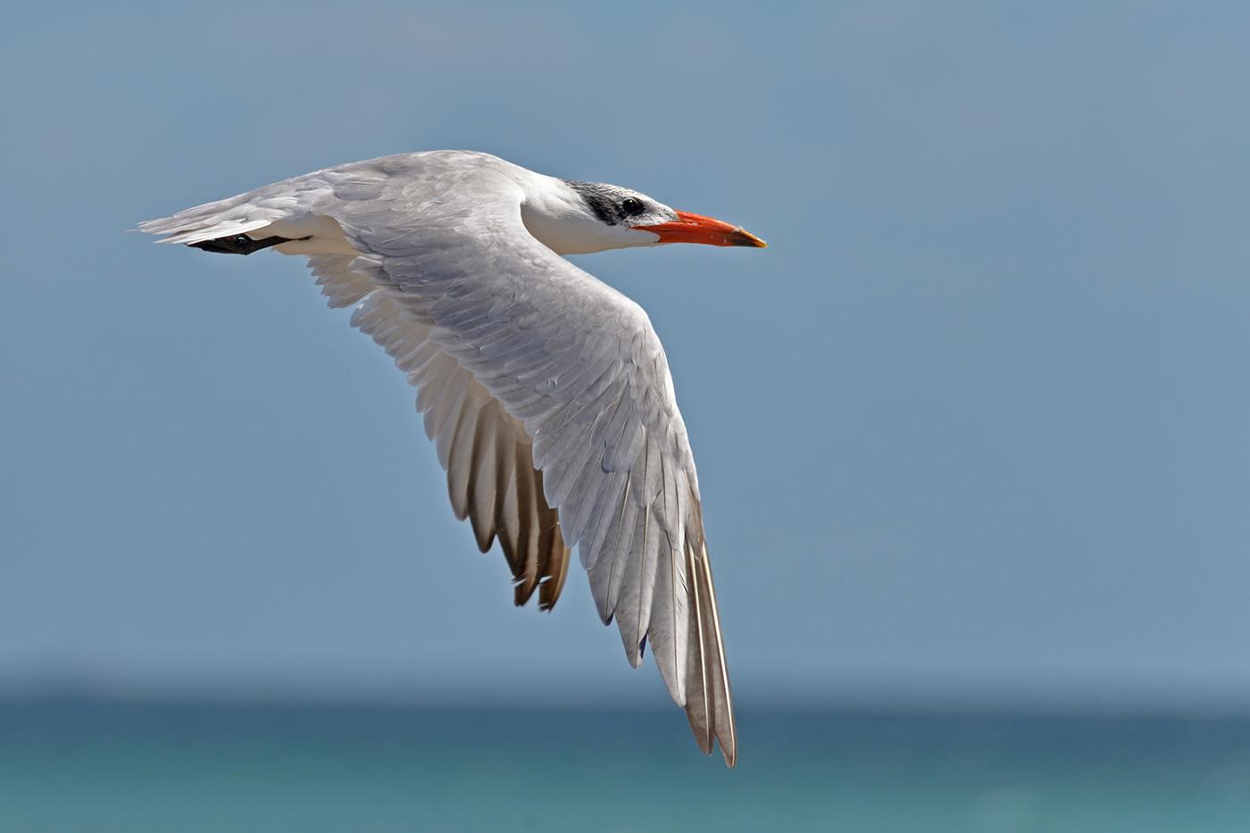 Caspian Tern (Image ID 39363)