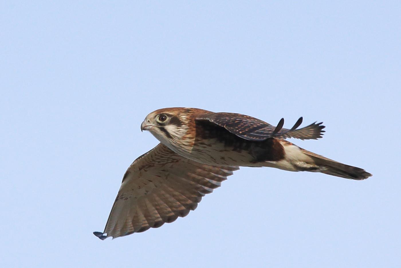 Brown Falcon (Image ID 39319)