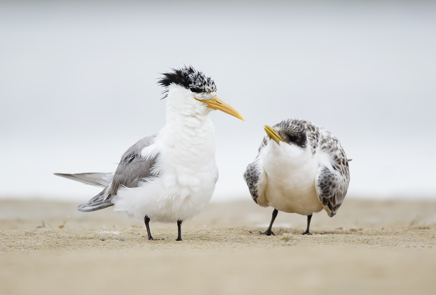 Greater Crested Tern (Image ID 38899)