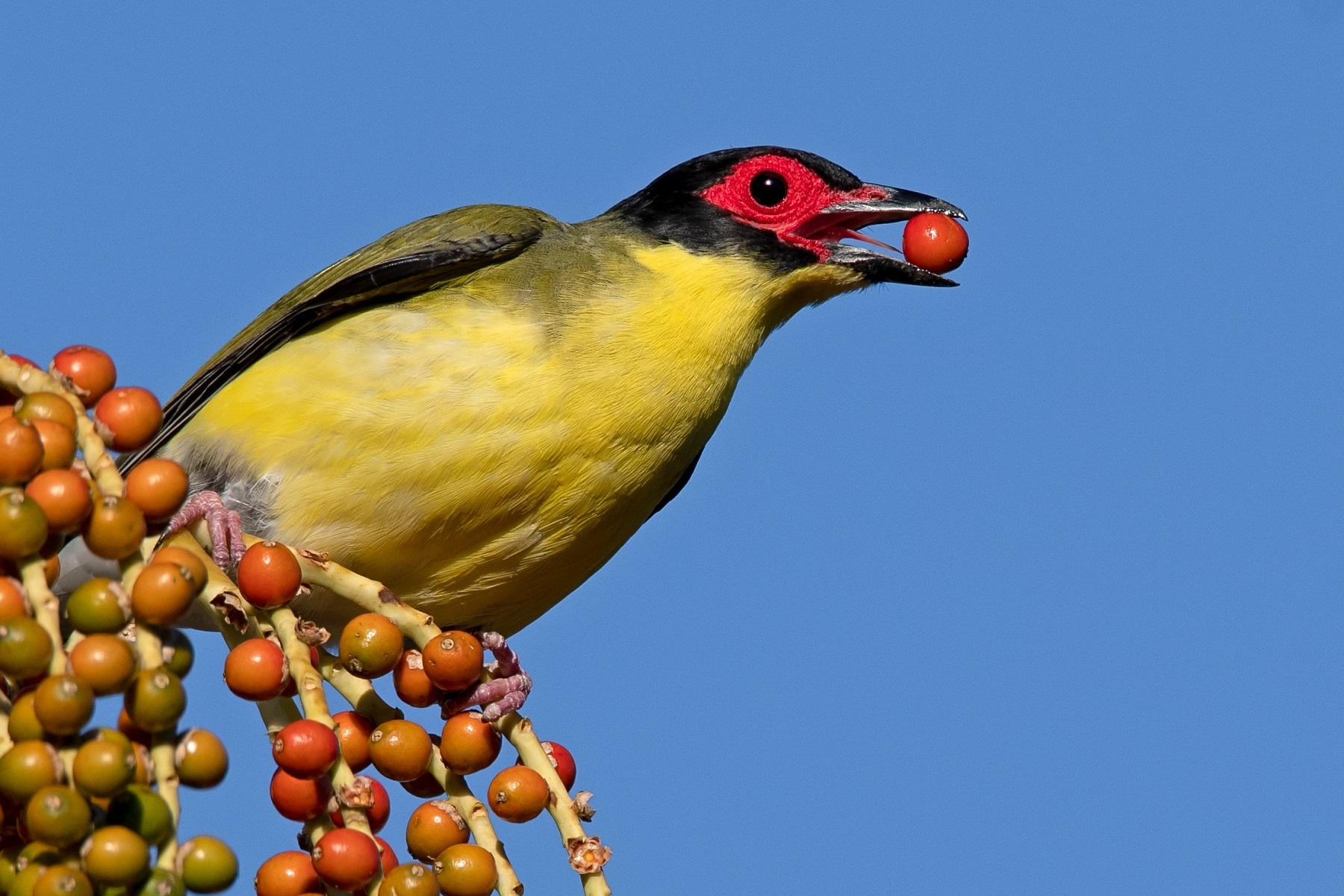 Australasian Figbird (Image ID 39238)