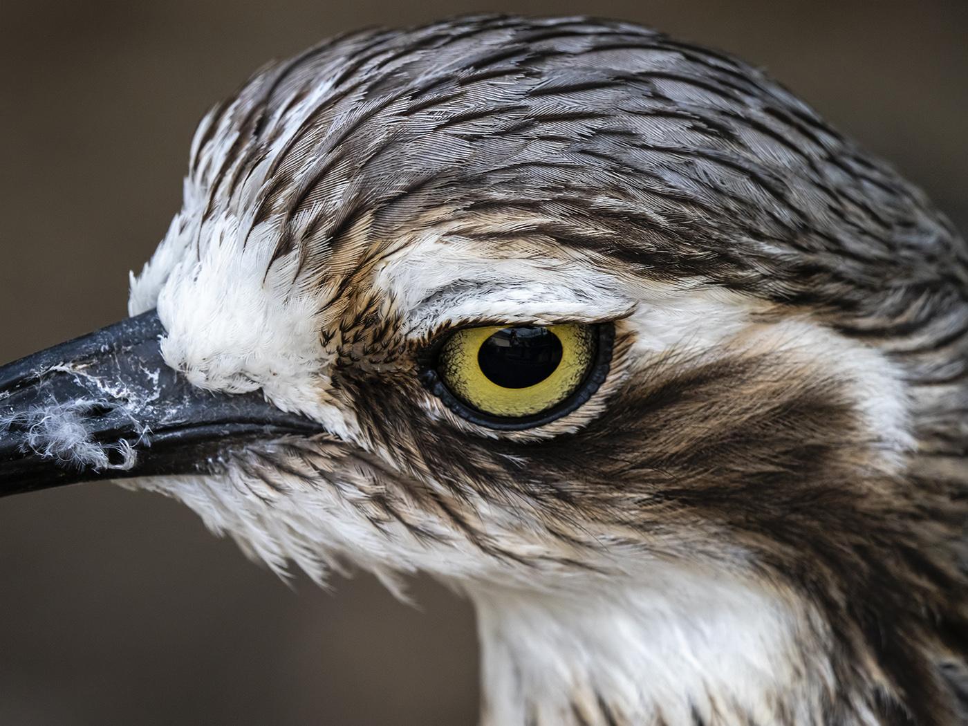 Bush Stone-curlew (Image ID 38916)