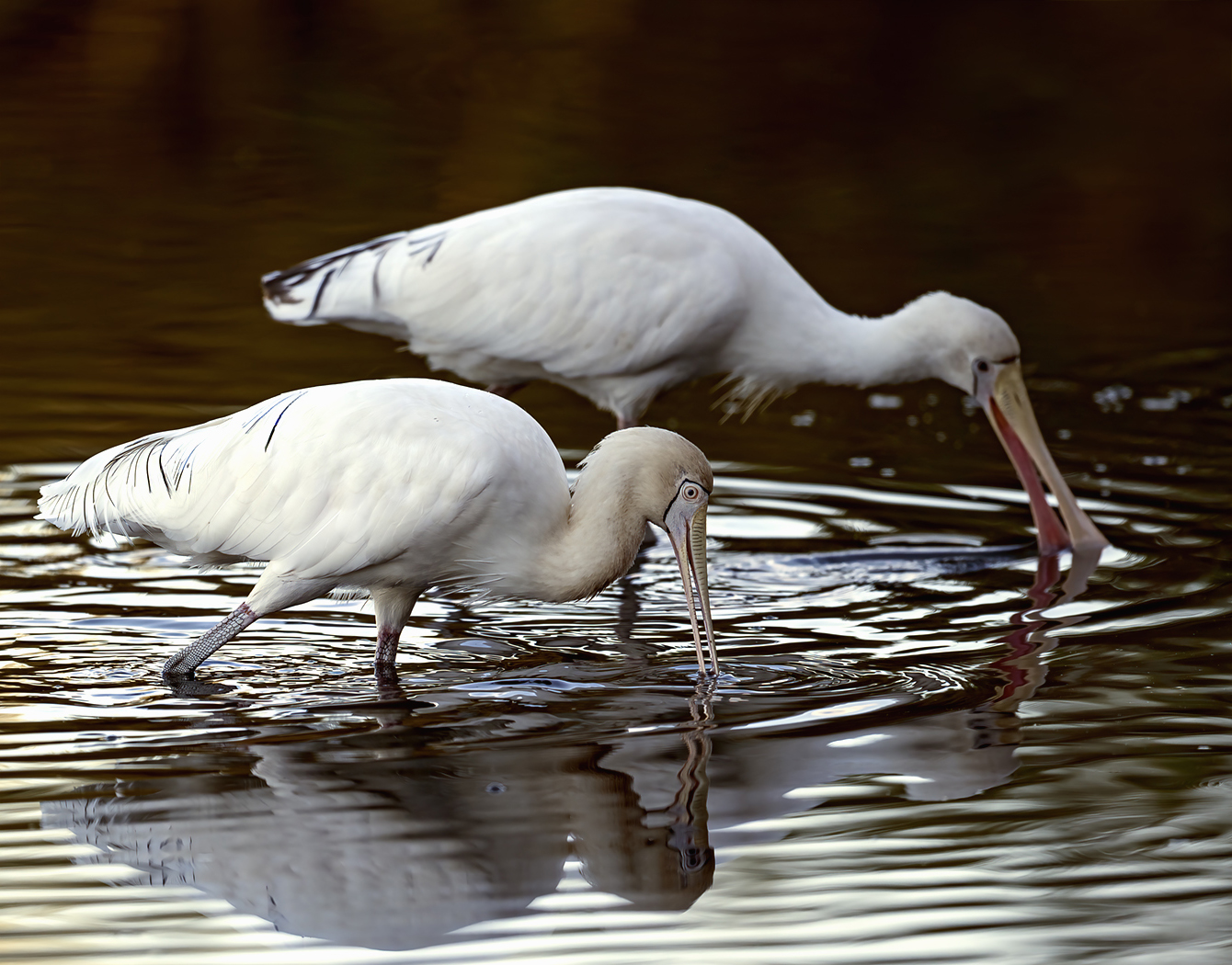 Yellow-billed Spoonbill (Image ID 39095)