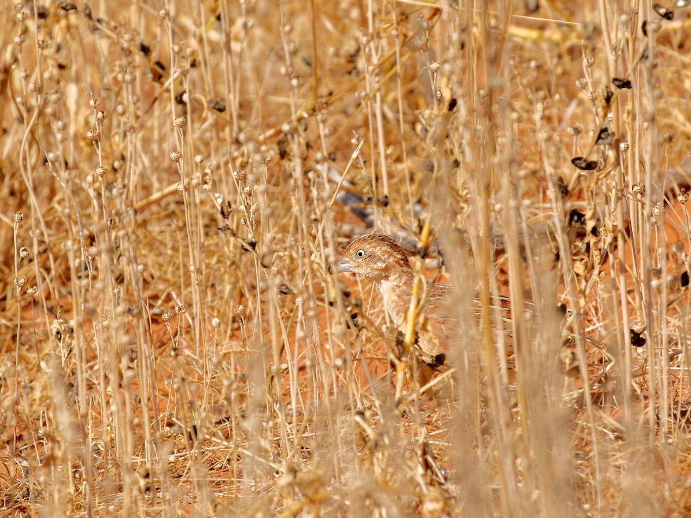 Little Button-quail (Image ID 38895)