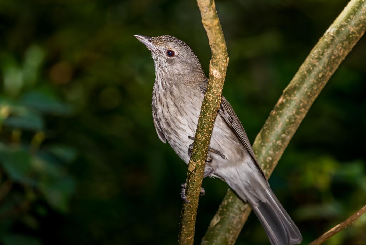 Grey Shrike-thrush (Image ID 39143)