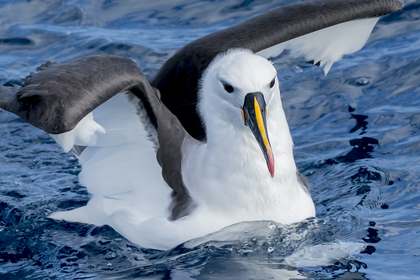Indian Yellow-nosed Albatross (Image ID 38866)