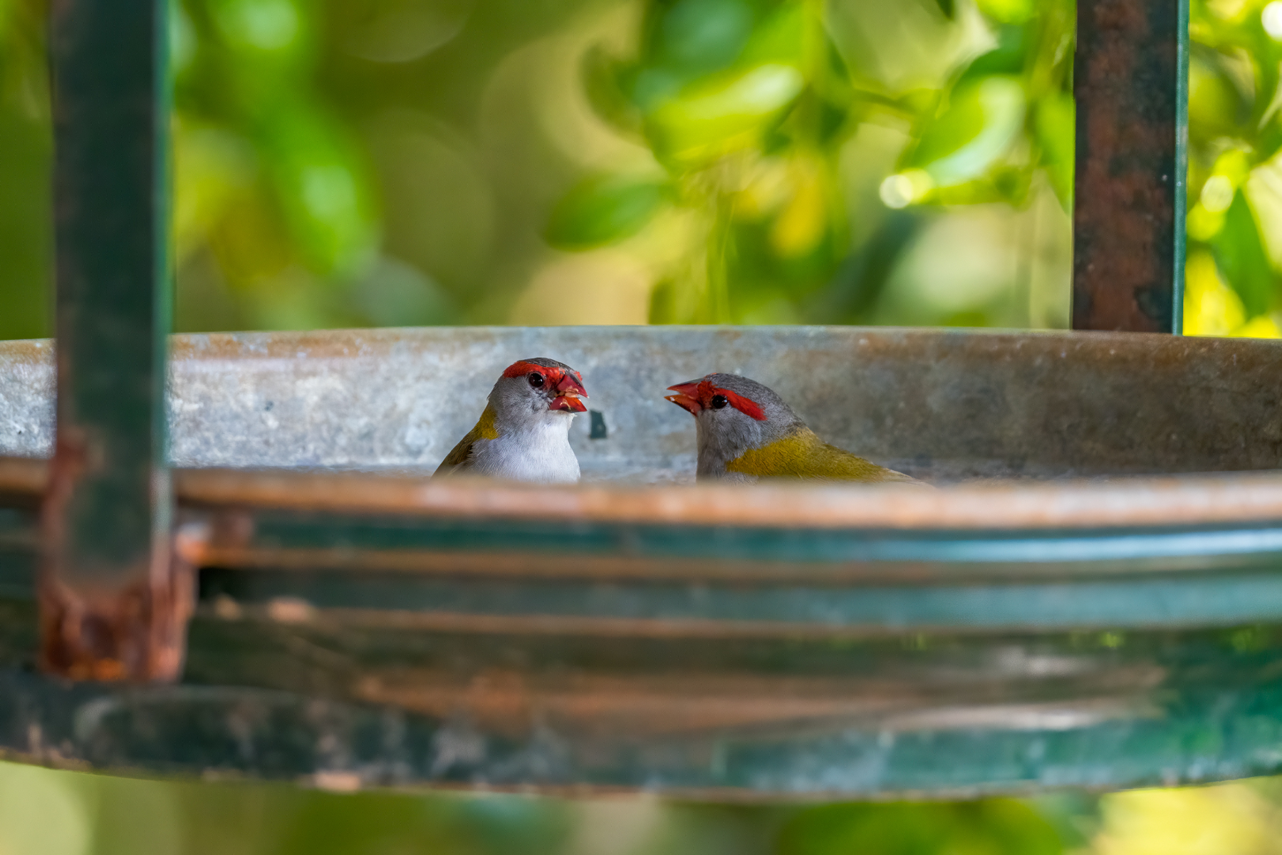 Red-browed Finch (Image ID 38952)
