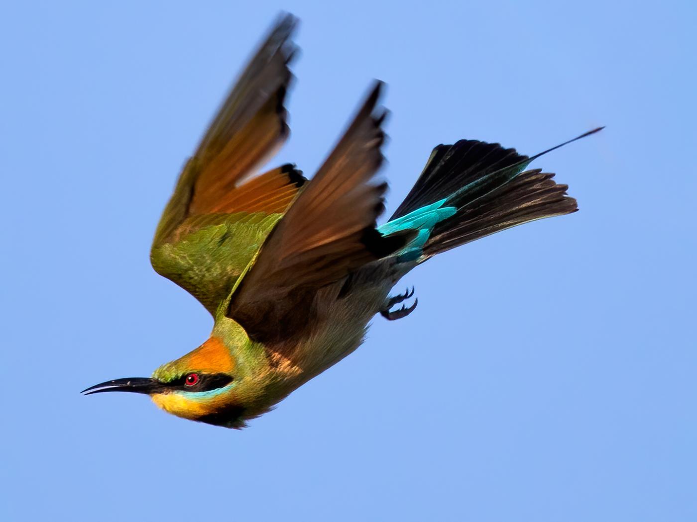 Rainbow Bee-eater (Image ID 39178)