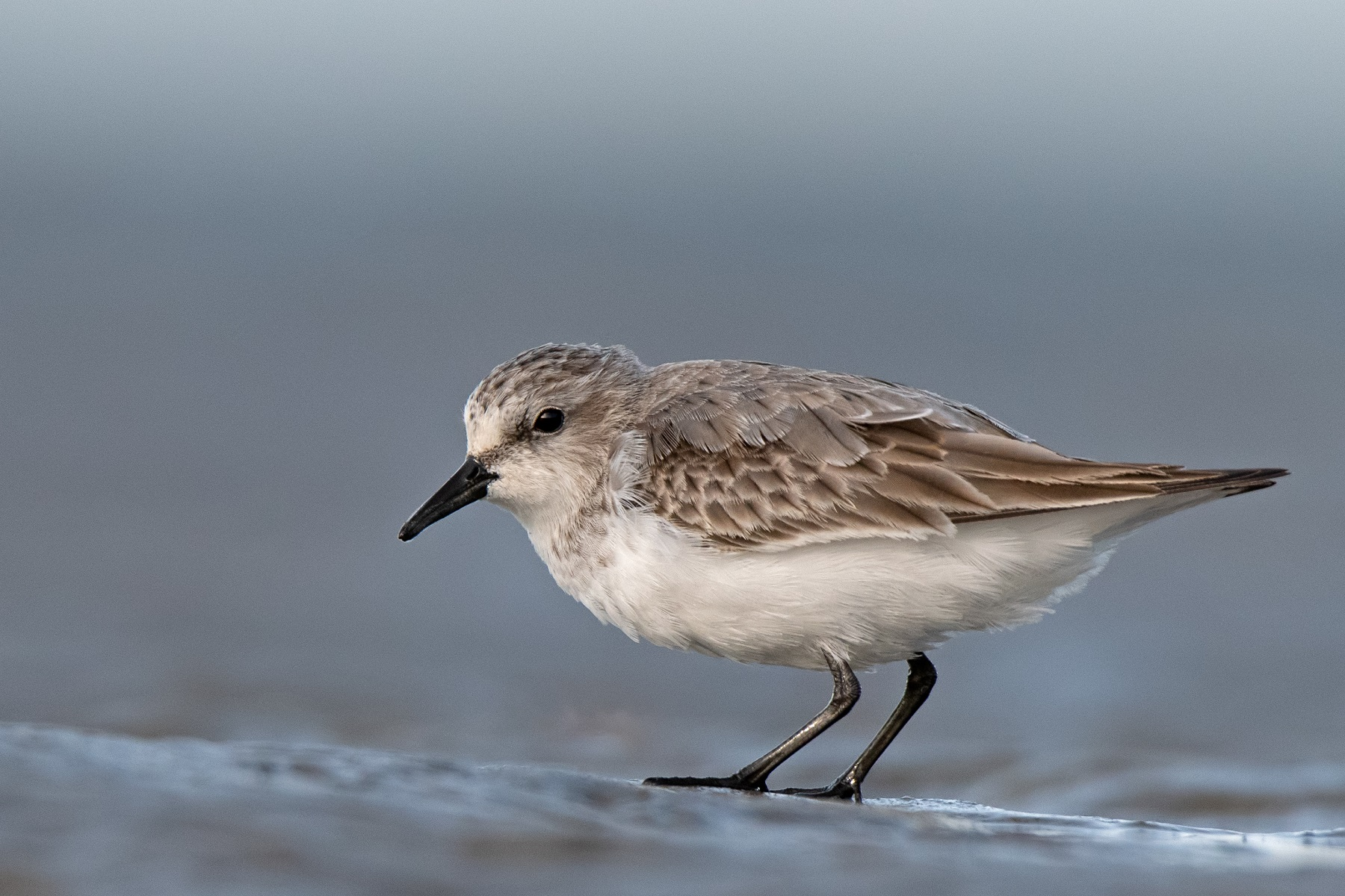 Red-necked Stint (Image ID 39243)