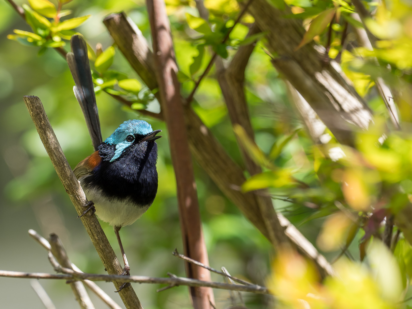 Red-winged Fairy-wren (Image ID 39332)