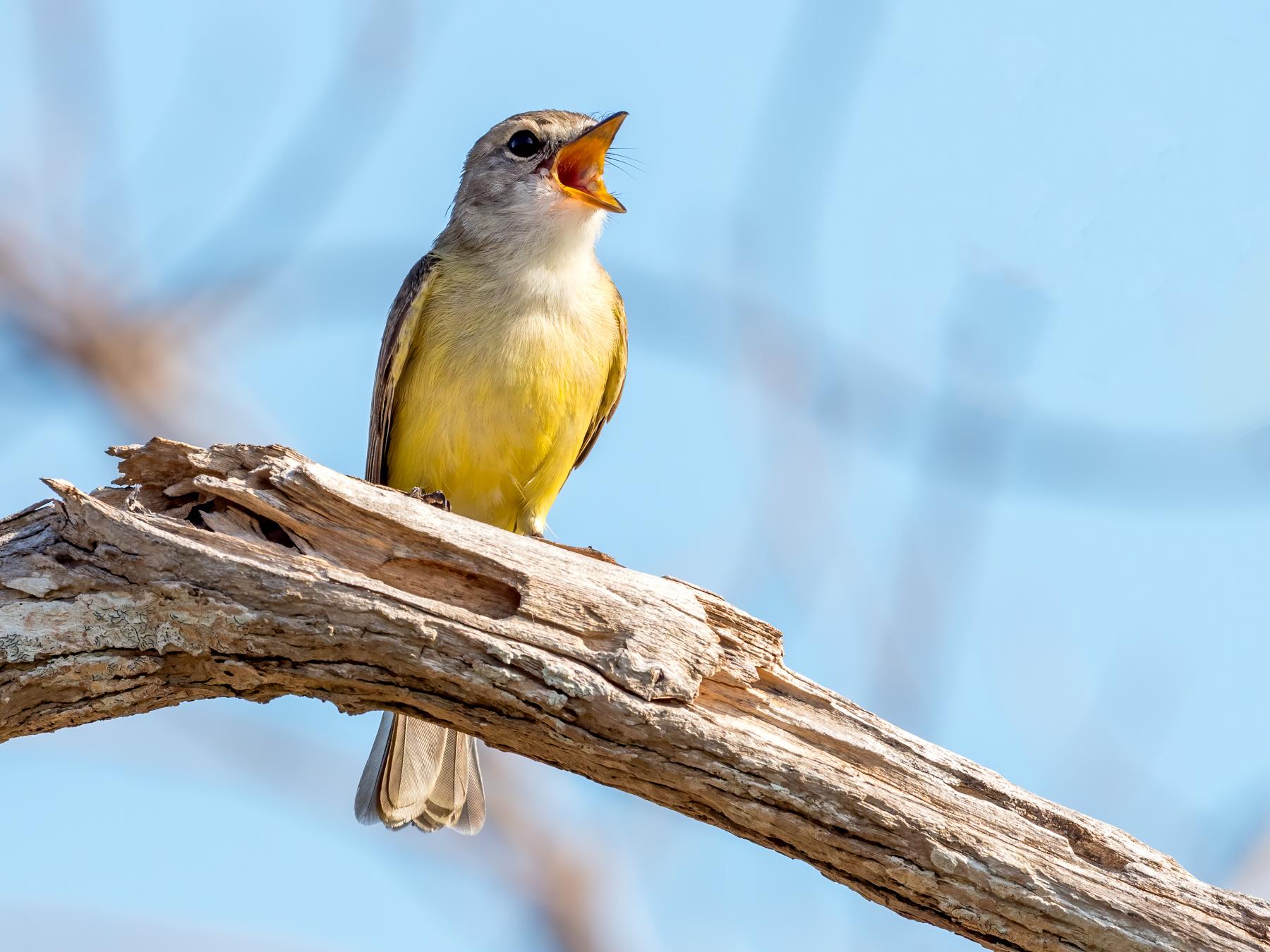Lemon-bellied Flycatcher (Image ID 38950)