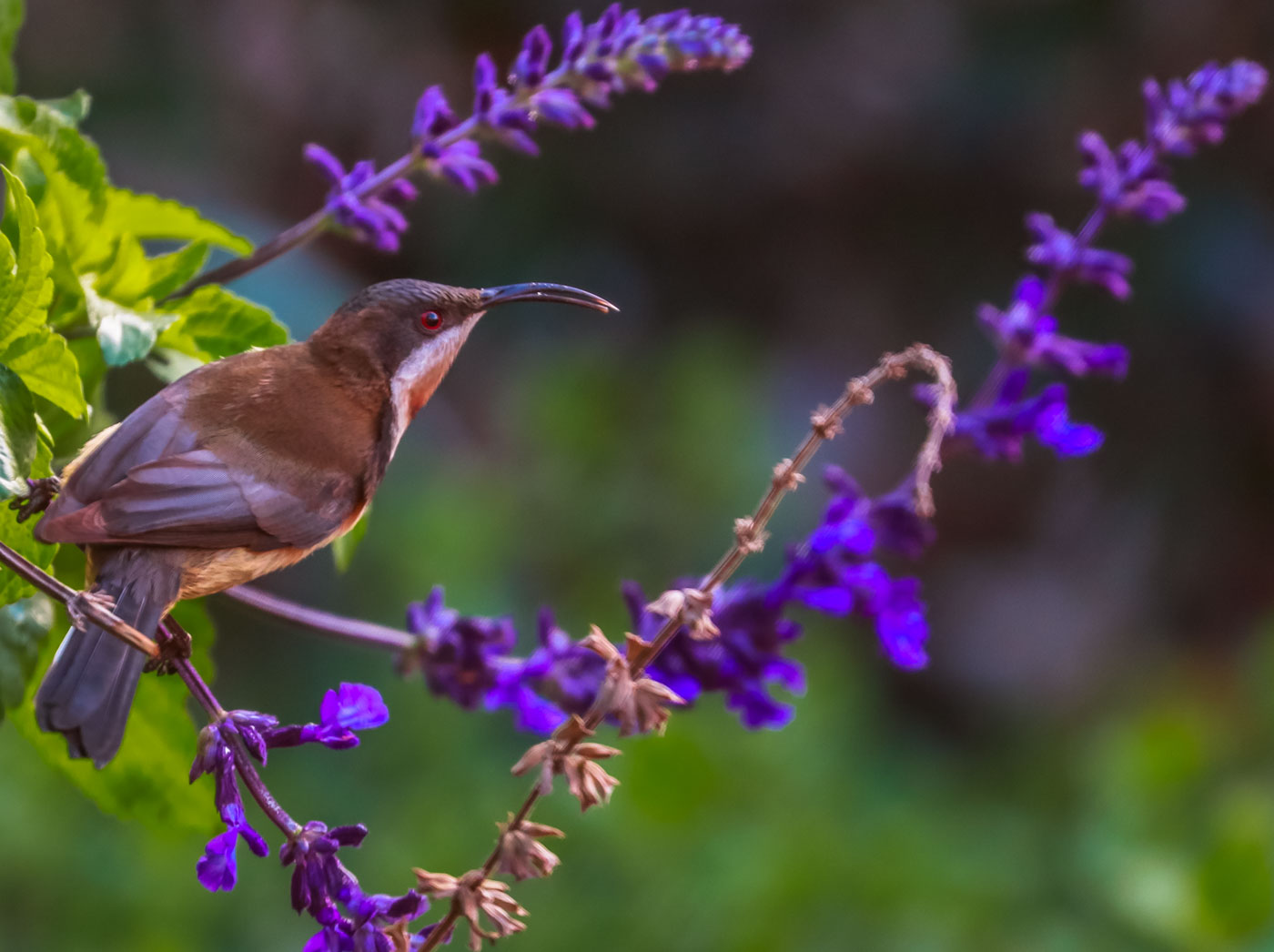 Eastern Spinebill (Image ID 38885)