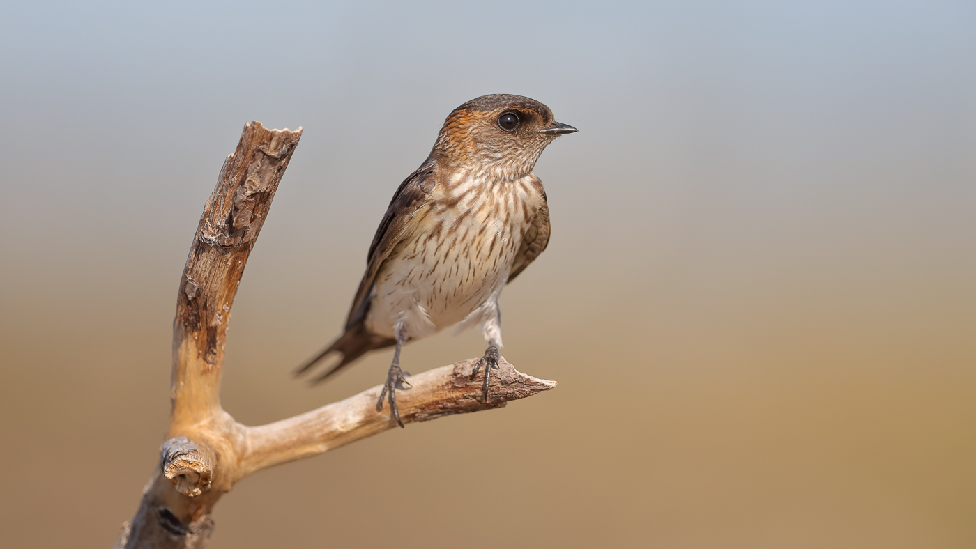 Red-rumped Swallow (Image ID 39149)