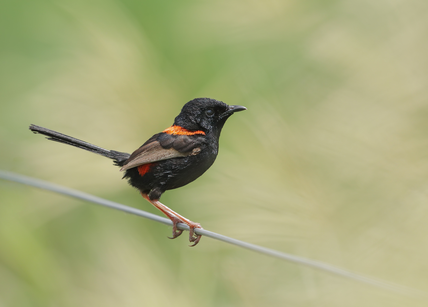 Red-backed Fairy-wren (Image ID 38805)
