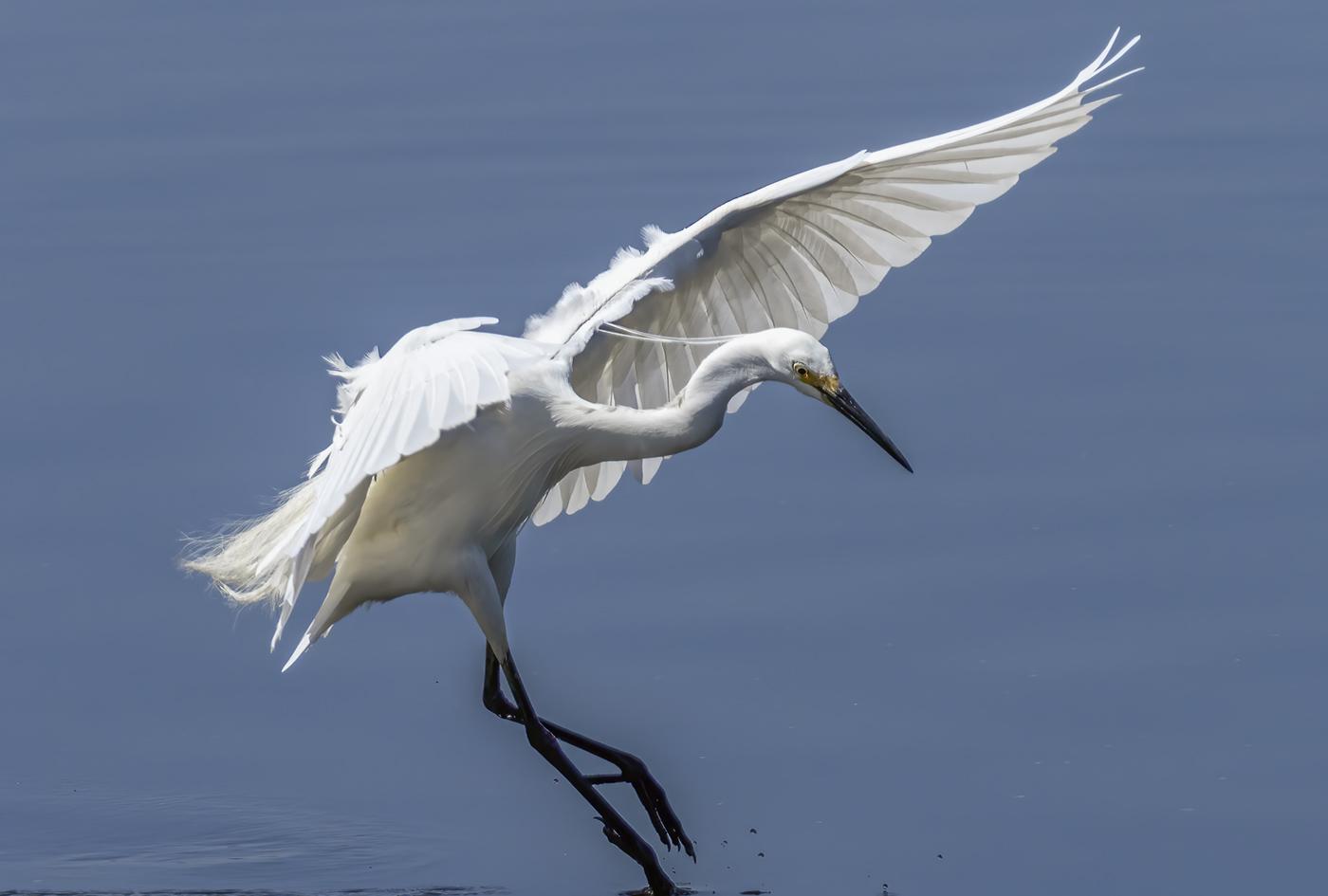 Little Egret (Image ID 38872)