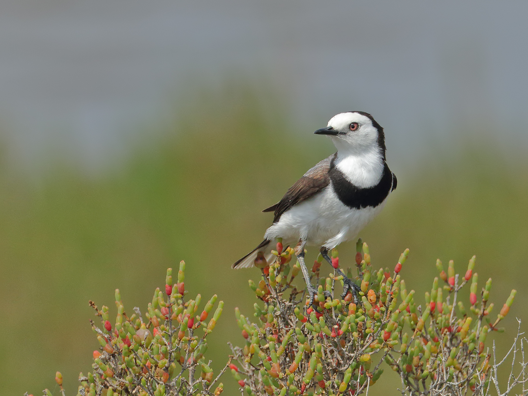 White-fronted Chat (Image ID 38887)
