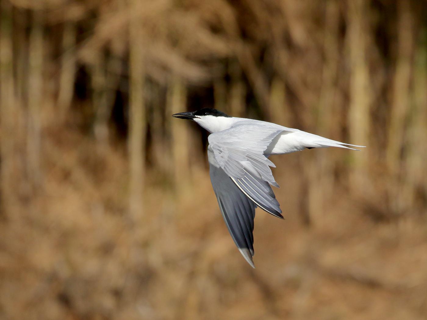 Australian Gull-billed Tern (Image ID 39331)